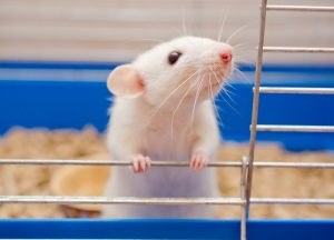 Efficiency of Mifcare's Anti-inflammatory Compound for PAH Shown in Second Animal Model